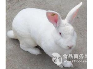 安哥拉獭兔幼兔