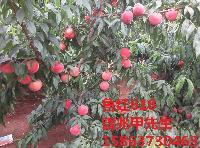 早熟桃新品种   鲁红618蜜桃桃树苗