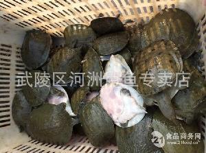 甲鱼苗养殖 河洲甲鱼批发资质合作商