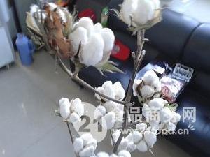 機采棉早熟優質品種短枝棉28