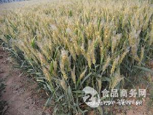 抗赤霉病抗倒小麦品种三抗6号