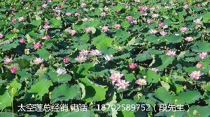 基地供应 纯种太空莲36号种苗莲子苗莲蓬藕种