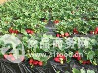 优质草莓苗