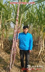 北方甘蔗新品种红皮蜜蔗