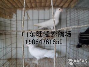 什么地方有卖元宝鸽的 北海观赏鸽养殖厂