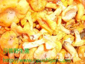 精選新鮮雞油菌