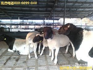 山东鑫大地纯种杜泊绵羊