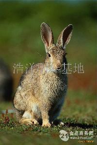 纯正山野兔