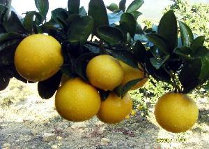 优质甜桔柚