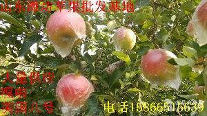 山东苹果价格批发基地