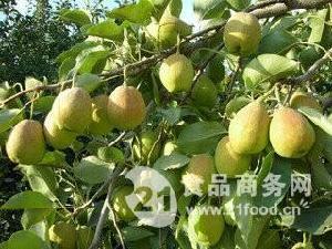 新疆库尔勒香梨