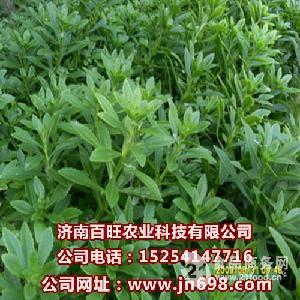 高钙养心菜种苗 救心菜种苗 费菜珍珠菜种子基地直供
