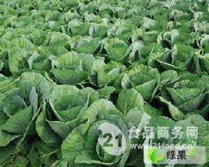 河北保定清苑包菜鐵頭圓白菜