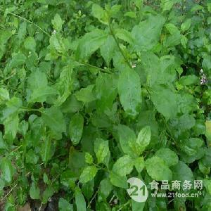 菜用枸杞种子 多年生落叶 枸杞菜种子 叶用枸杞种子