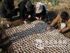 散装芦笋种子