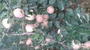 苹果批发上海