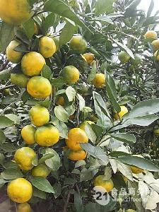 宜昌早熟蜜桔/蜜橘价格
