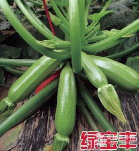 批发越冬早春耐寒高产西葫芦种子-绿宝丰