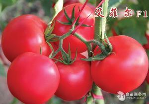 荷兰越冬大果型高产番茄种子-艾菲尔