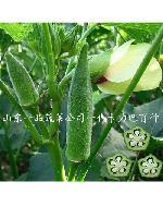卡力巴黄秋葵种子