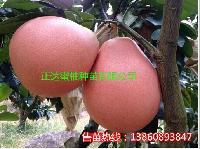 穗条批发,大三红蜜柚苗正宗一株多少钱