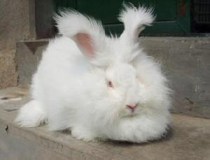 长毛兔种兔6斤