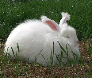 长毛兔优良品种价格