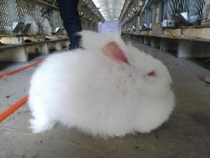 一只长毛兔