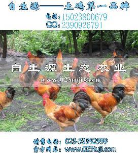 草鸡苗养殖