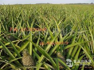 产地新鲜菠萝