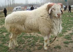 纯种小尾寒羊
