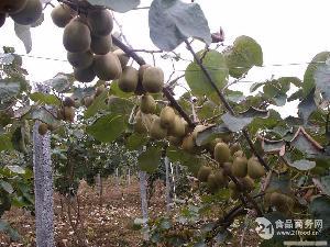 红(阳)心猕猴桃栽培种苗