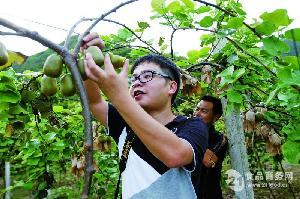 红(阳)心猕猴桃基地栽培种苗