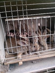 现在肉兔种兔幼兔价格是多少
