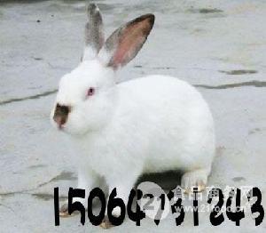 衡水肉兔种兔价格