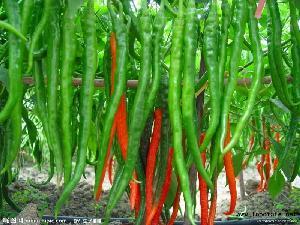 鲜红辣椒大量上市价格不贵