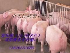 仔猪供应基地   仔猪价格行情