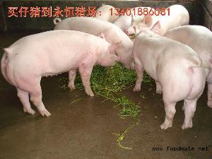 养猪厂的二元母猪价格行情预测