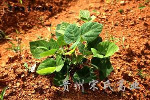 供应优质葛根种苗
