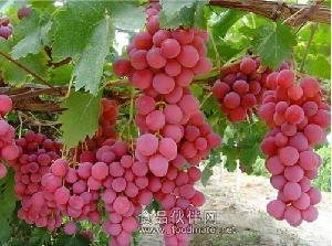 供应红提葡萄