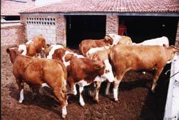 伊春利木赞牛种牛的养殖方法