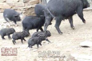 林芝藏香豬豬肉批發