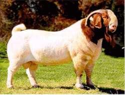 育肥绵羊技术及管理方法