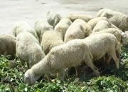 养殖50头羊出栏时间及利润怎么样