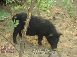 春节藏香猪抢购大狂欢