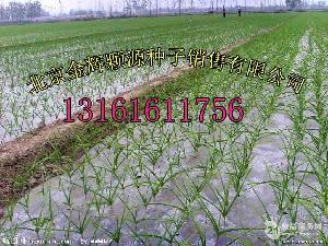 北京脱毒大蒜一级品种100g一头
