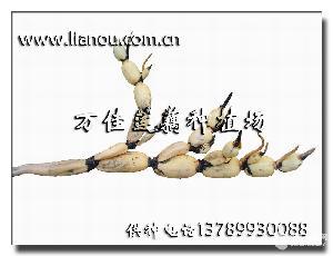 莲藕种——鄂莲五号(3735)