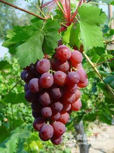 北疆牌红提葡萄